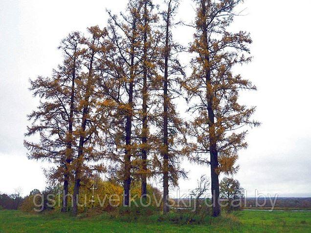 Жемчужины нашего леса. Радугинские лиственницы