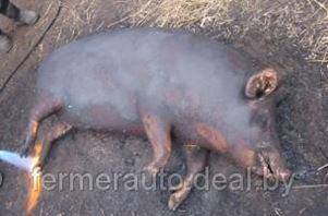 Белорусские власти начали использовать тактику выжженной земли вокруг свинокомплексов